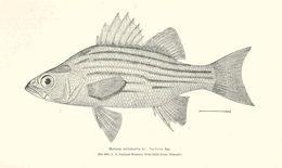 Image of Barfish