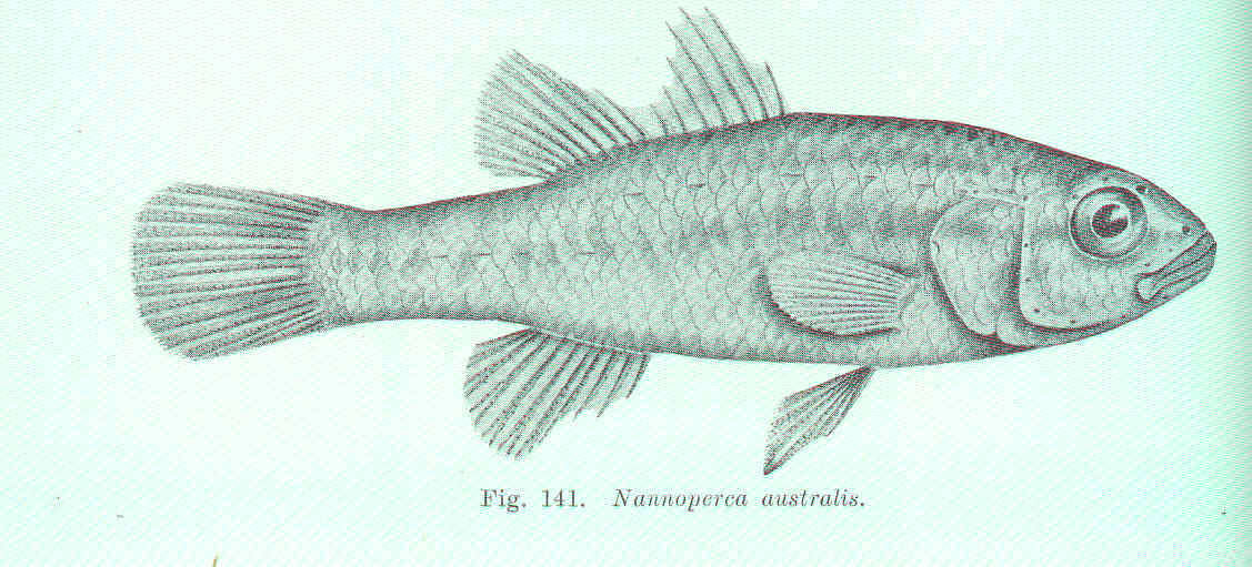 Image of Southern pygmy perch