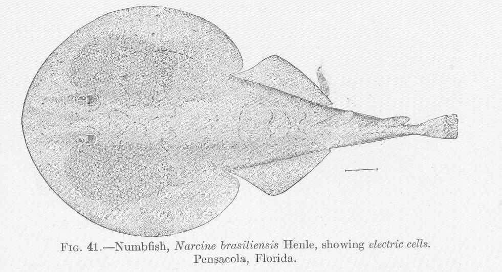 Image of Narcine