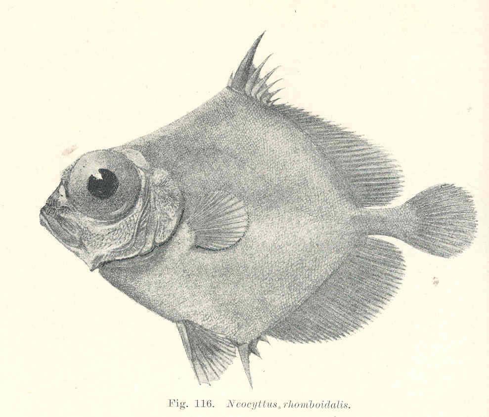 Image of Spiky oreo