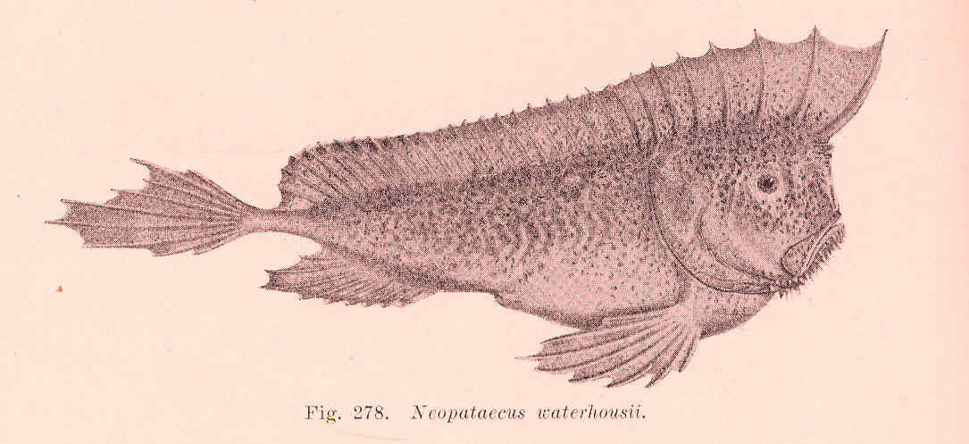Image of Whiskered prowfish