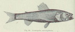 Image of blackchin