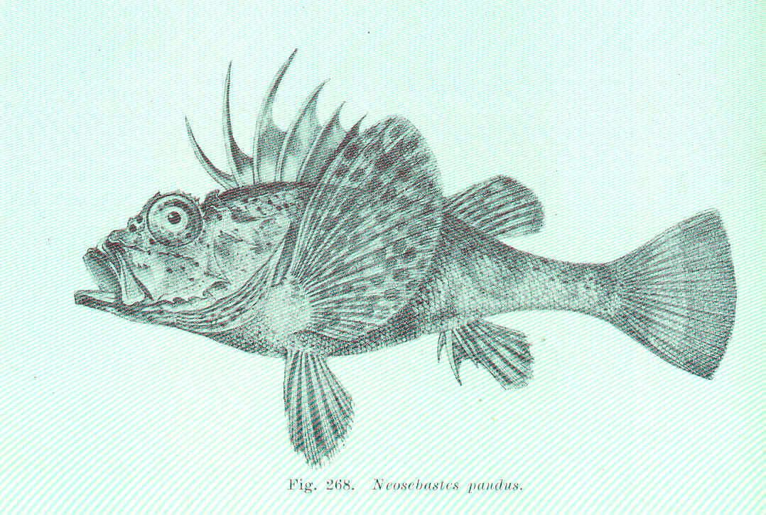 Image of Bighead gurnard perch