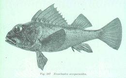 Image of Cobbler perch