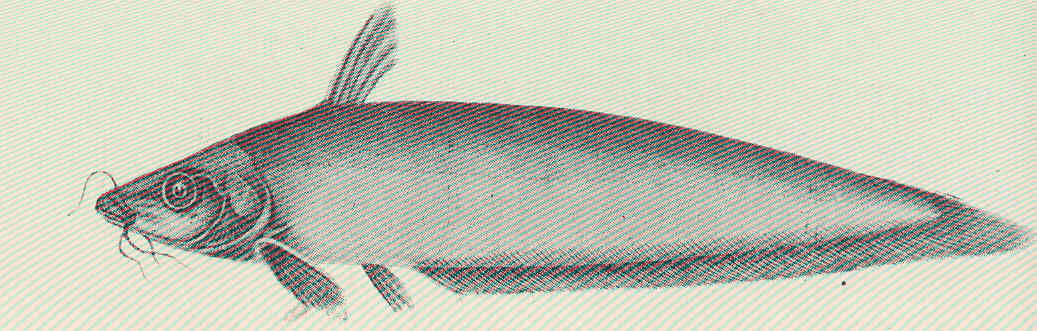 Image of Hyrtl%27s Catfish