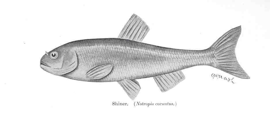 Image of Common shiner