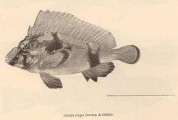Image of <i>Ocosia vespa</i> Jordan & Starks 1904