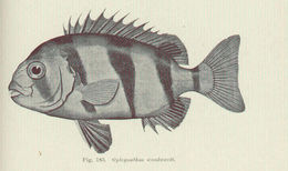 Image of <i>Oplegnathus woodwardi</i> Waite 1900