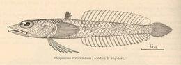 Image of <i>Osopsaron verecundum</i> (Jordan & Snyder 1902)