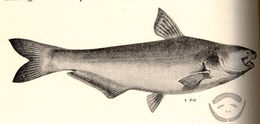 Image of Paracetopsis