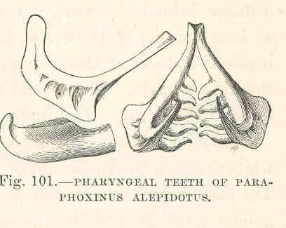 Image of <i>Phoxinellus alepidotus</i> Heckel 1843