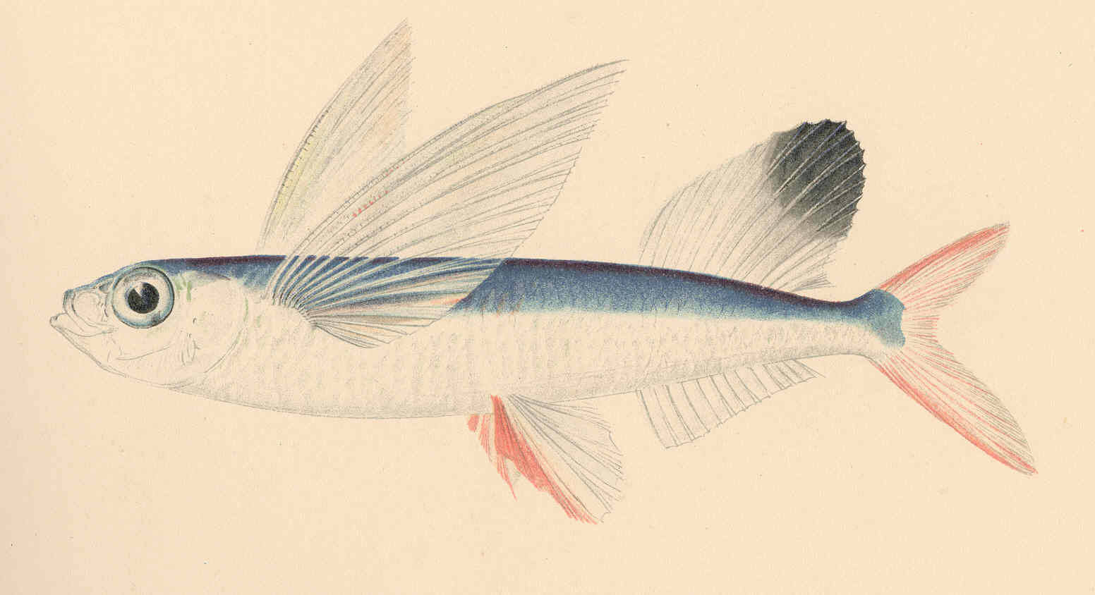 Image of African flyingfish