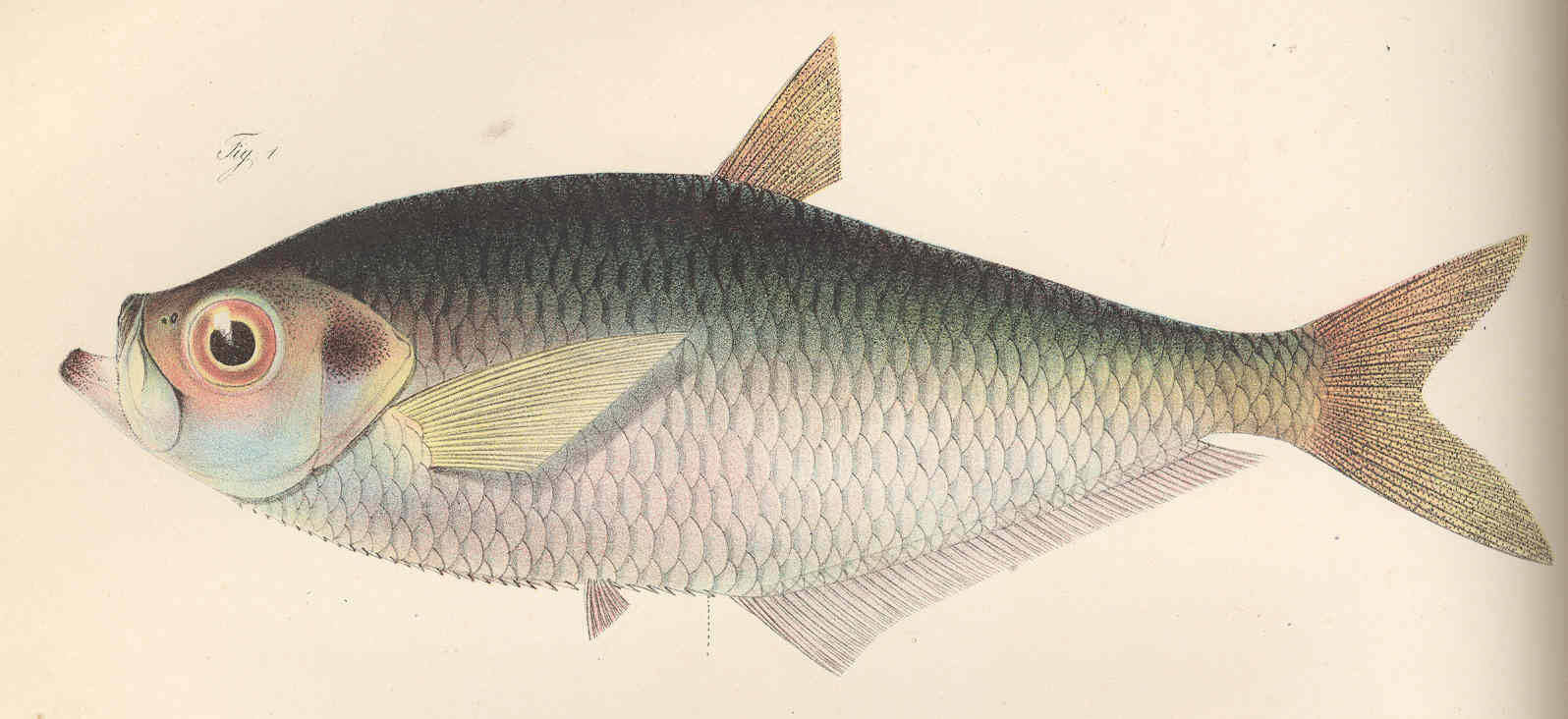 Image of West African ilisha
