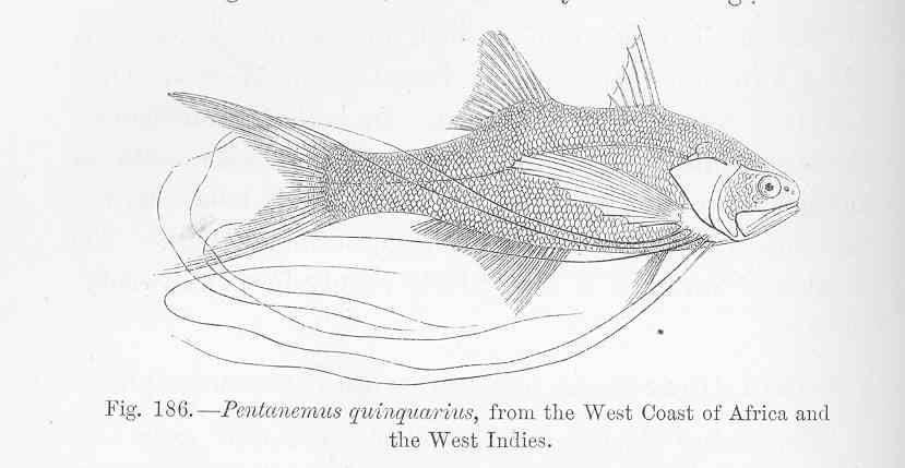 Image of royal threadfin