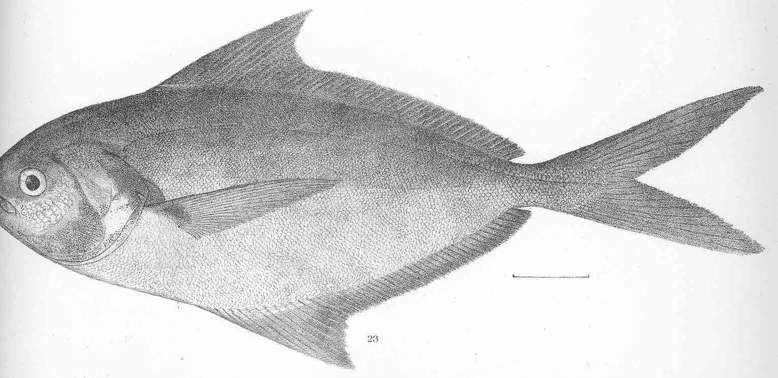 Image of Salema butterfish