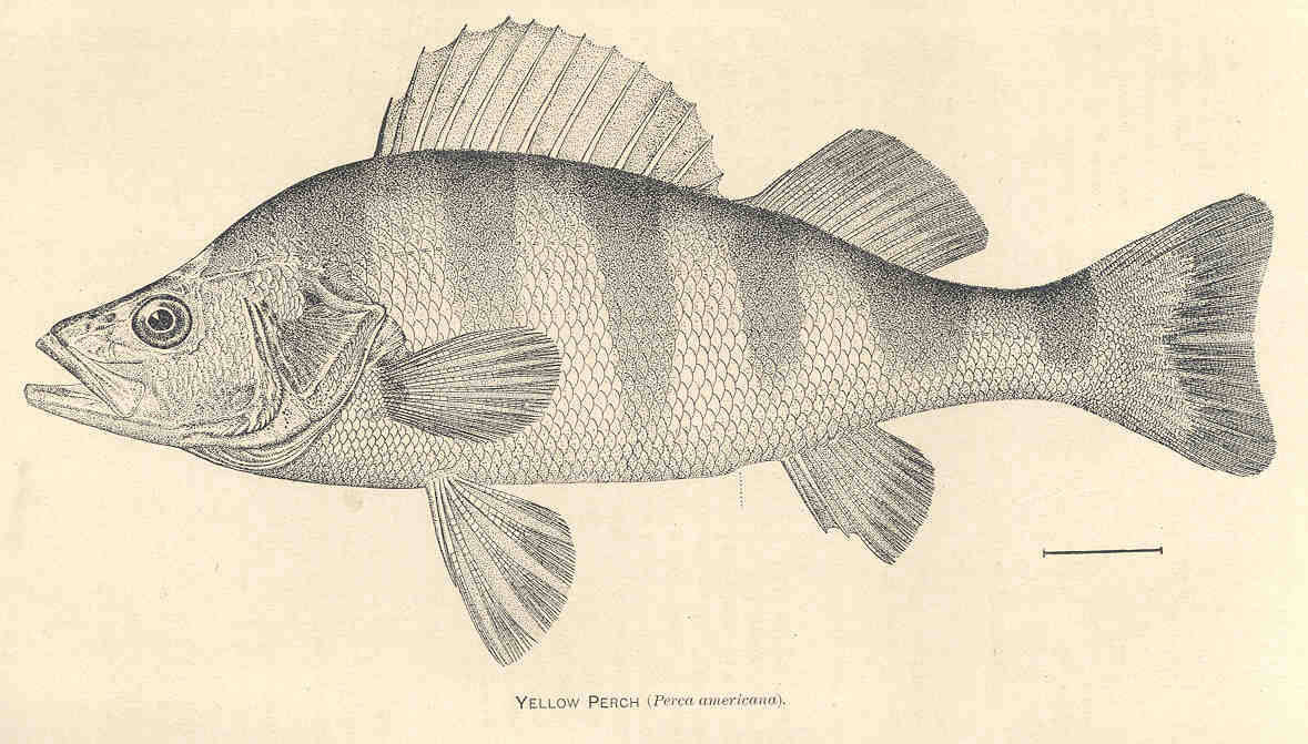 Image of Yellow Perch