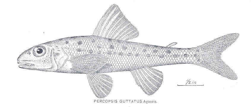 Image of Trout-perch