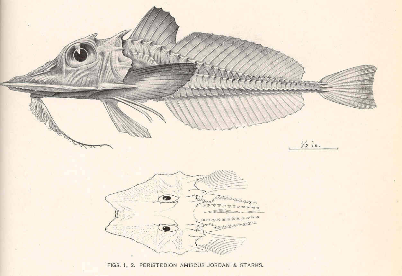 Image of <i>Satyrichthys amiscus</i> (Jordan & Starks 1904)