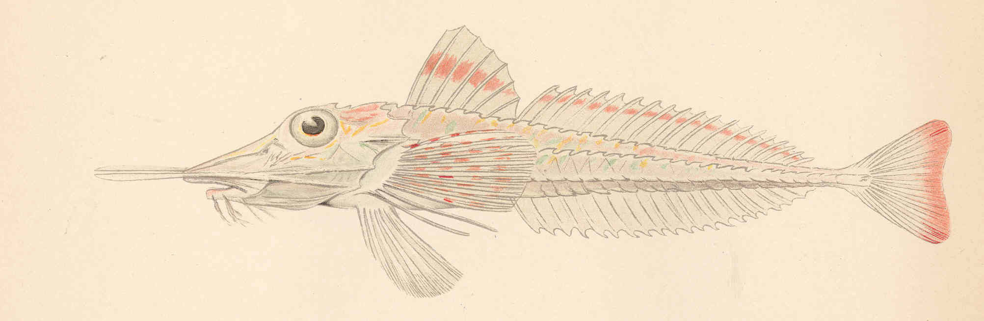 Image of slender searobin
