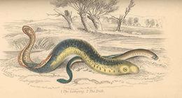 Image of northern lampreys
