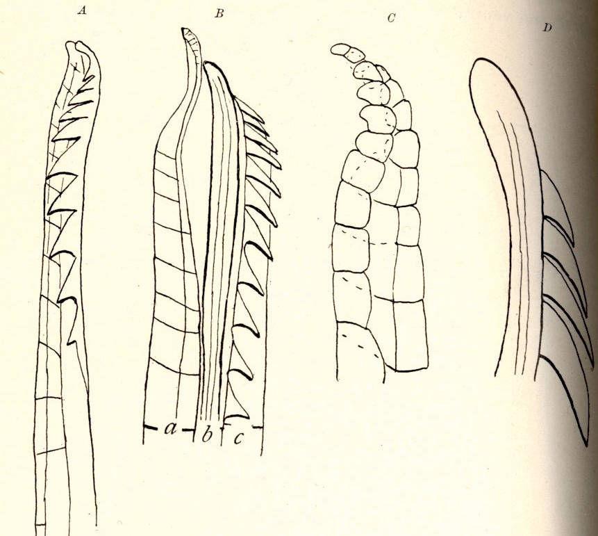 Image of barred misquitofish