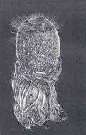 Image of <i>Pheronema carpenteri</i> (Thomson 1869)