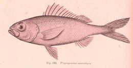 Image of Big-scale bonnetmouth