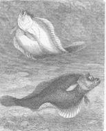 Image of Platessa H. Lange-Bertalot 2004
