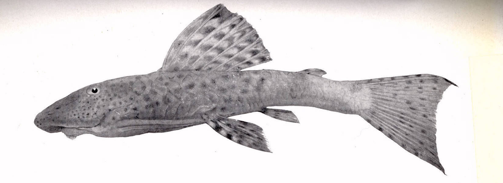 Image of <i>Plecostomus derbyi</i>