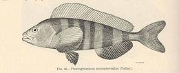 Image of Atka mackerel