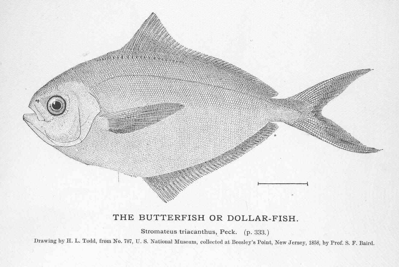Image of American butterfish