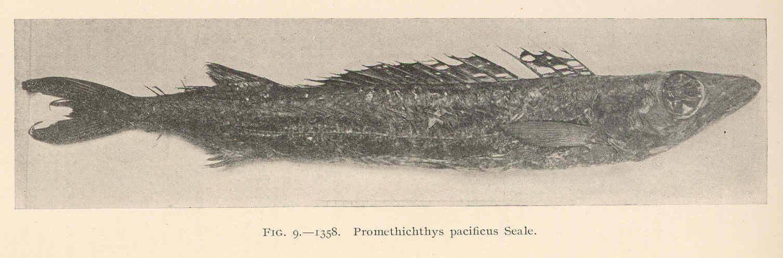 Image of Bermuda Catfish