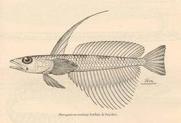 Image of <i>Pteropsaron evolans</i> Jordan & Snyder 1902