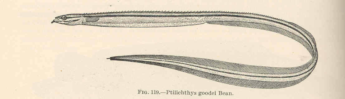 Image of quillfish