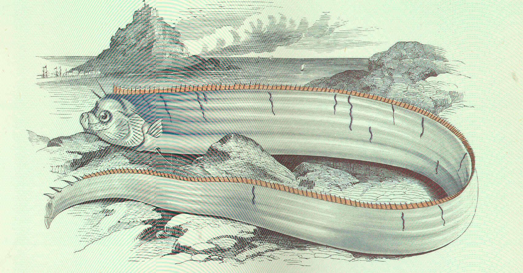 Image of Giant Oarfish