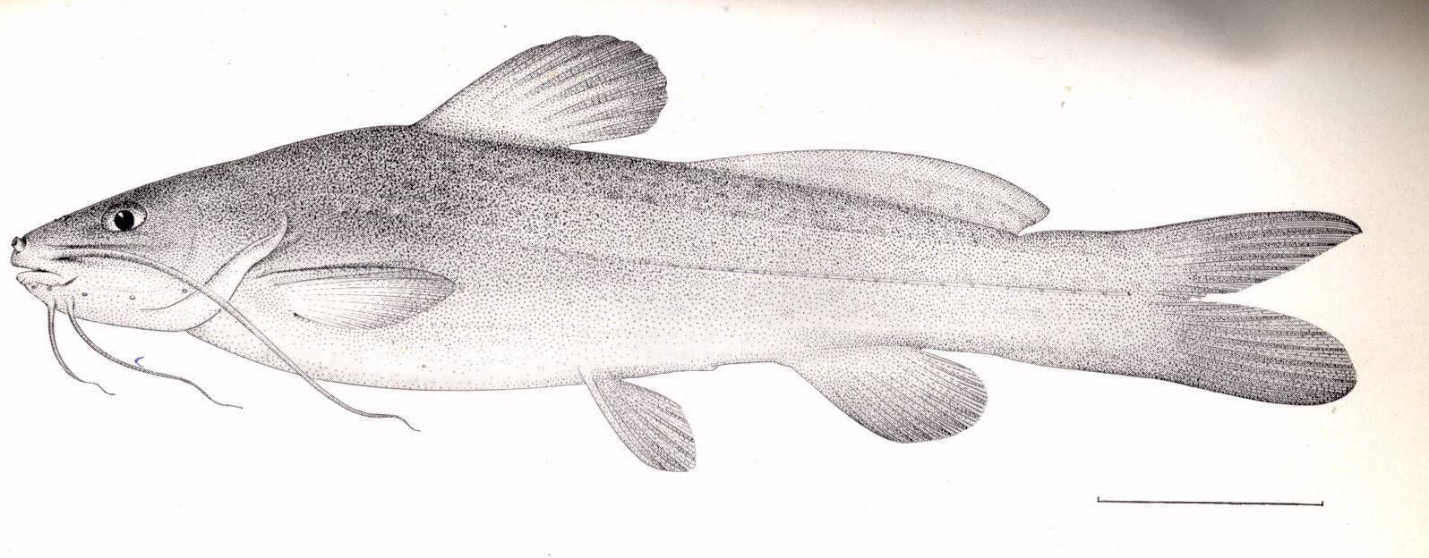 Image of <i>Rhamdia quelen</i> (Quoy & Gaimard 1824)