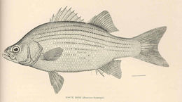 Image of White Bass