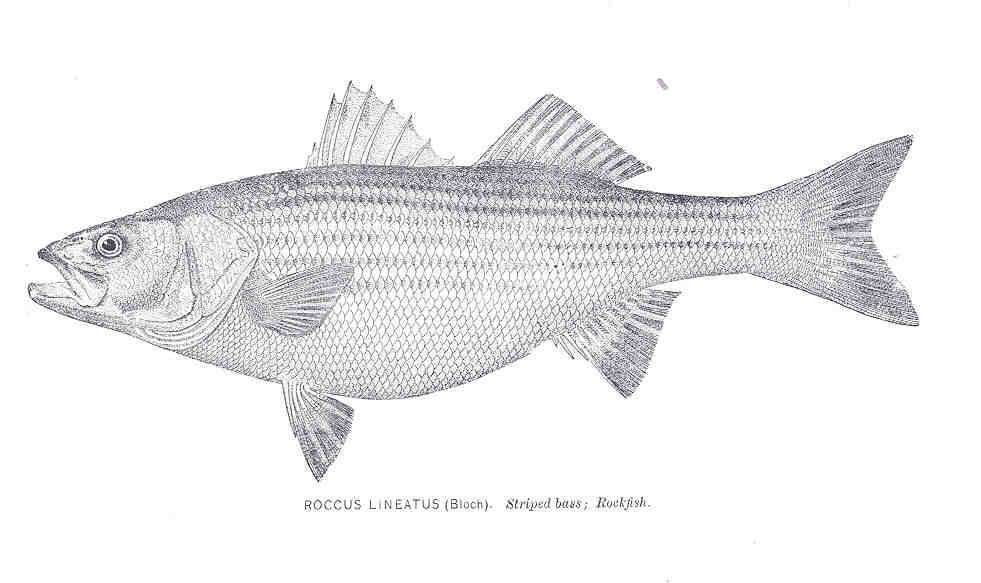 Image of Striped Bass