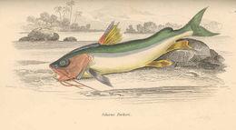 Image of Gillbacker sea catfish