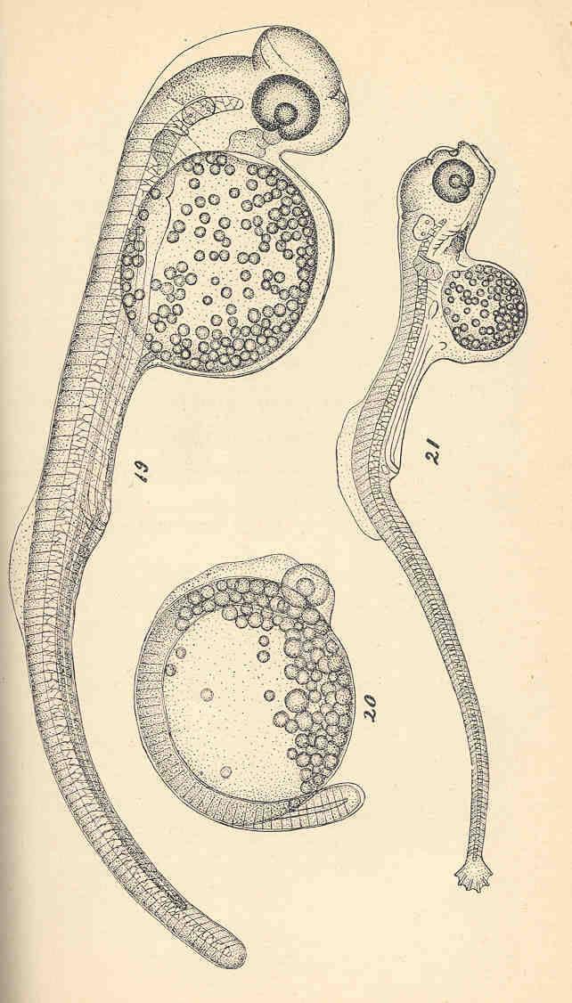 Image of Siphostoma