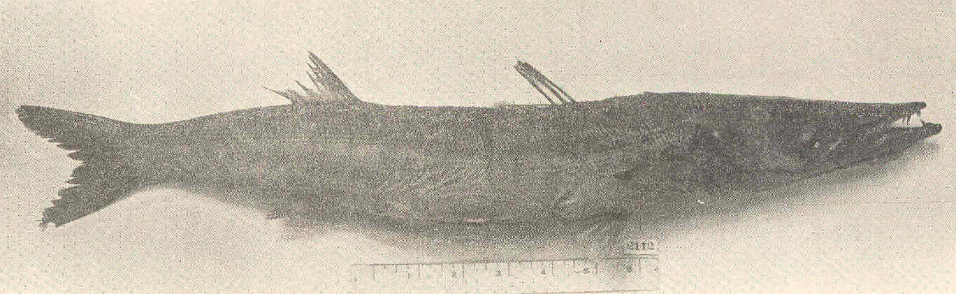 Image of Sphyraena
