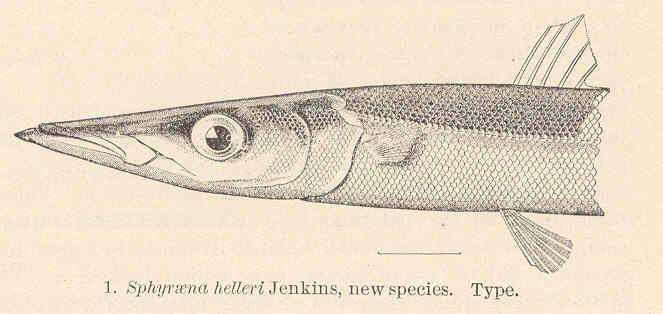 Image of Heller's barracuda