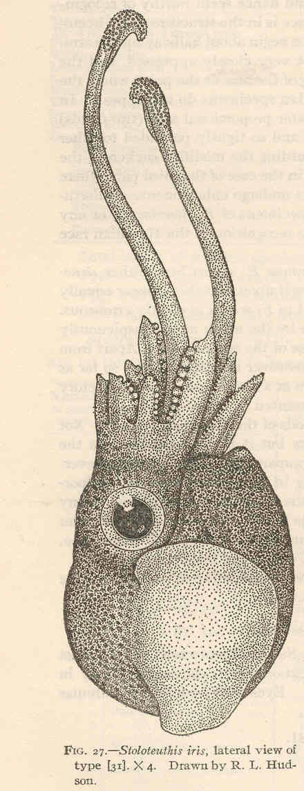 Image of <i>Iridoteuthis iris</i> (Berry 1909)