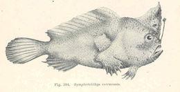 Image of Warty anglerfish