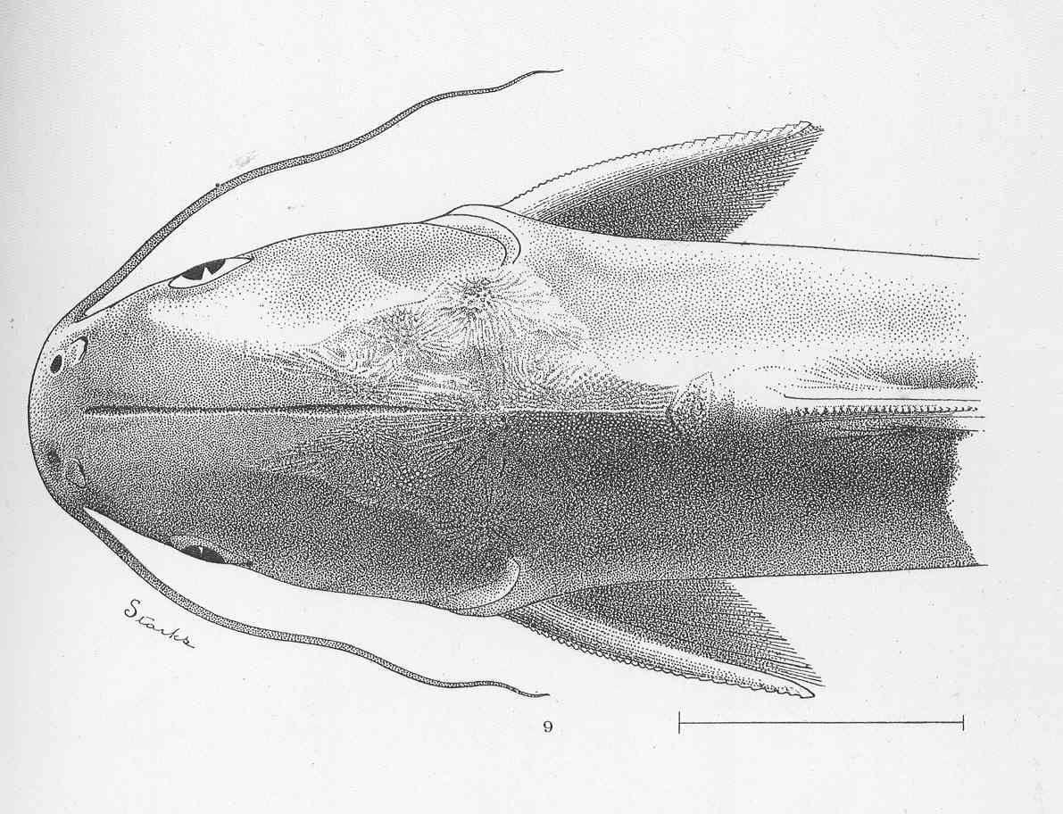 Image of Steindachner's sea catfish
