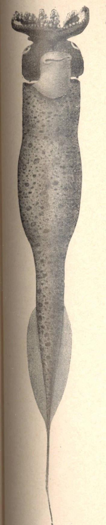 Image of Taonius Steenstrup 1861