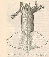 Image of <i>Onychoteuthis compacta</i> (Berry 1913)