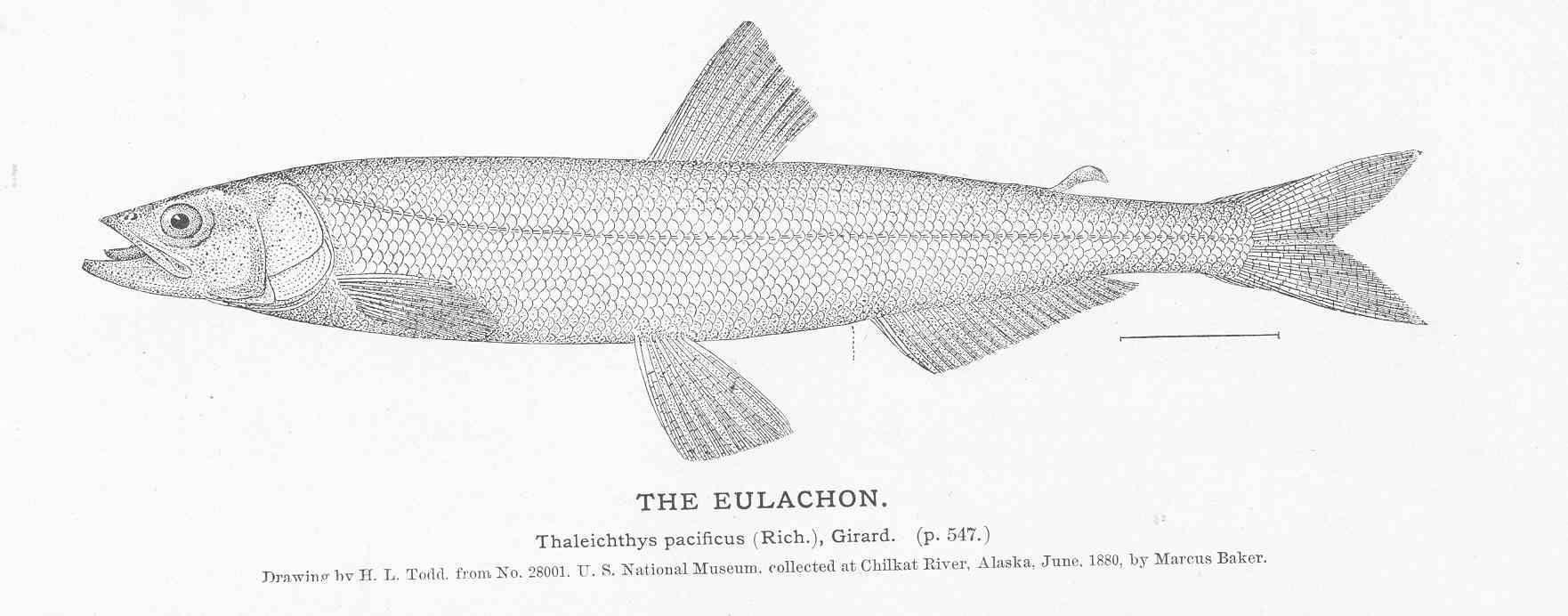 Image of Eulachon
