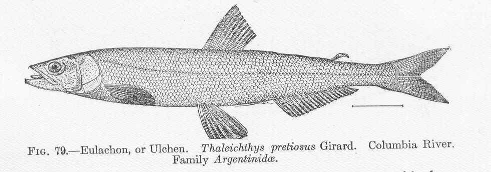 Image of Thaleichthys