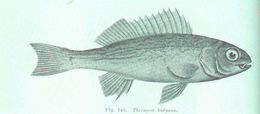 Image of tigerfishes